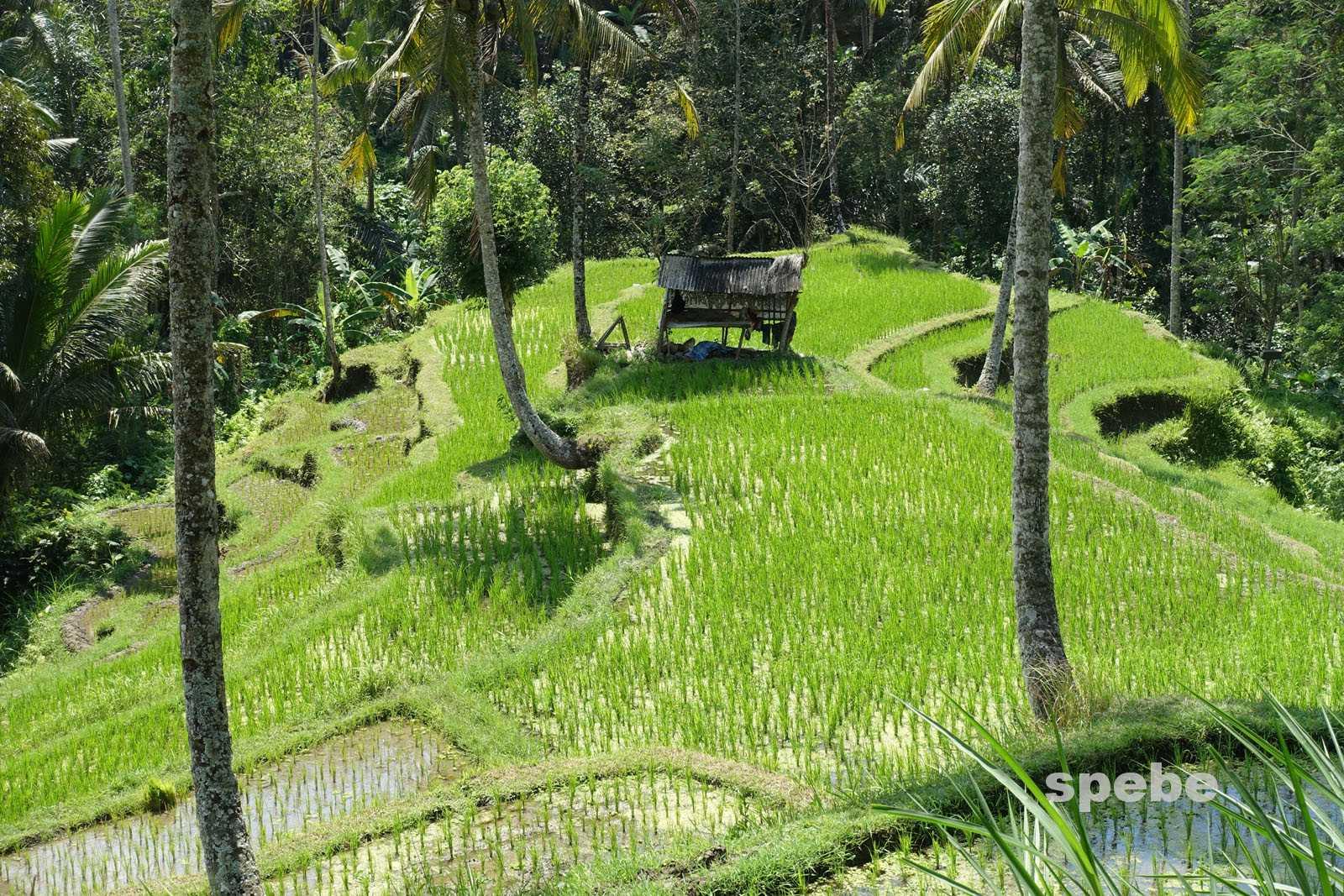 Bali Impressionen – Reisfelder und mehr …